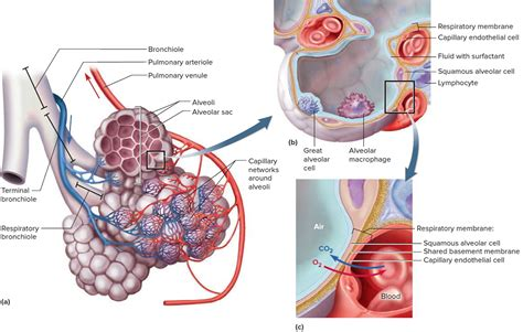 lungs definition location anatomy function diagram anatomy of lung alveoli on lungs functions the human body