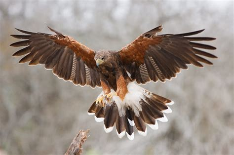 hawks that hunt in packs and i think to myself what a wonderful world creature