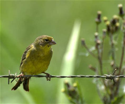 grassland yellow finch pictures and facts birds