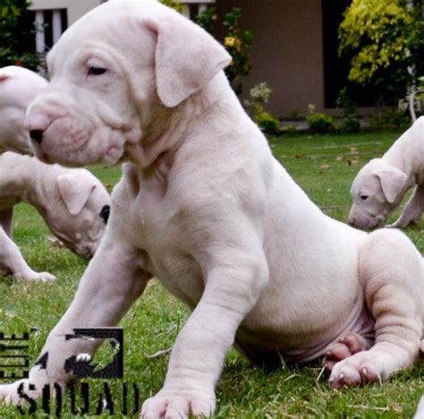 dogo argentino puppy price dogo argentino puppies for sale elite squad kennel 1 14238 dogs for sale price