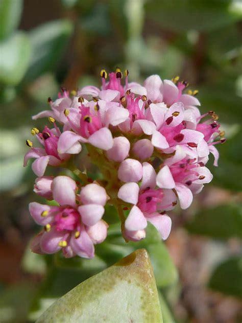 rosary bead plant crassula rupestris kebab bush concertina bush world