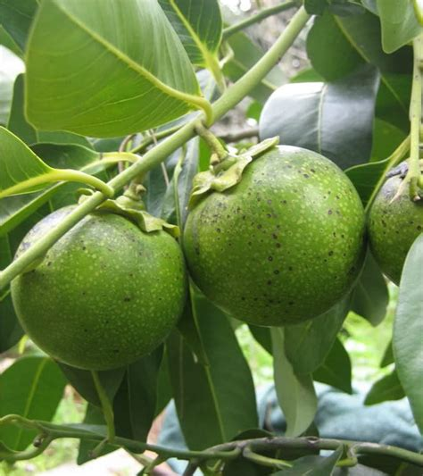 black fruit tree black sapote chocolate pudding tree diospyros digyna