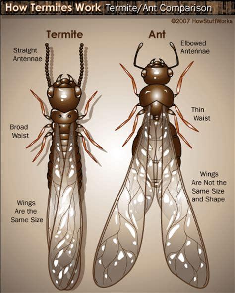 formiche volanti come eliminarle formiche formiche volanti e travi in legno pestforum