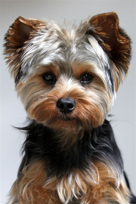 Yorkie Haircuts Pictures Only | yorkie hairstyles for males fade haircut