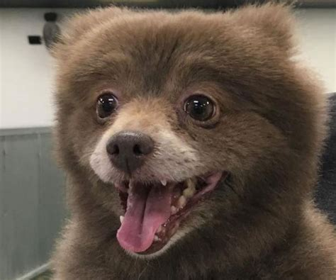 puppies that look like bears dogs that look like bears