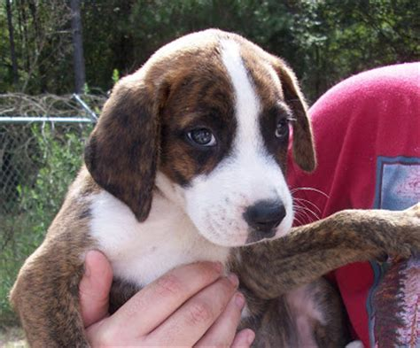 boxer beagle puppy boxer beagle mix beagle puppy m5xeu breeds picture