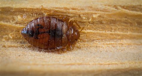 people smoking bed bugs ick orkin entomologist claims more bed bugs in the us than ever before society s
