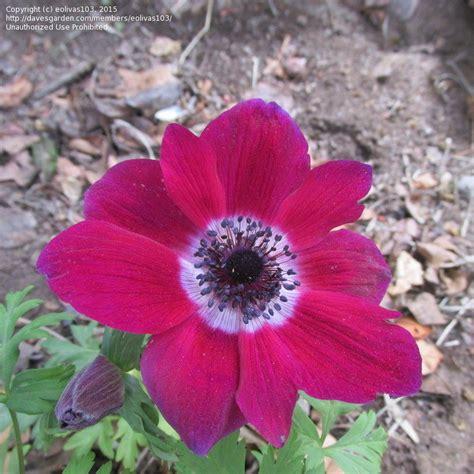 anemone bordeaux plantfiles pictures anemone grecian windflower poppy