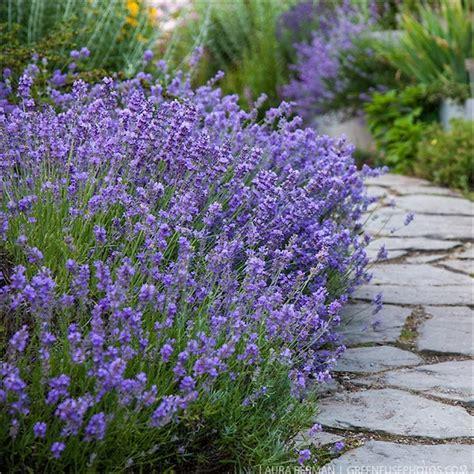 munstead english lavender lavandula angustifolia