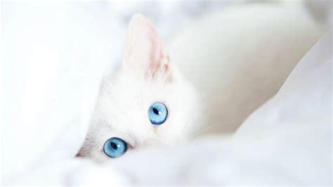 lovely white beautiful blue eyes cats wallpapers hd for desktop hd