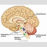 Hypothalamus   1268 x 1008 jpeg 161kB