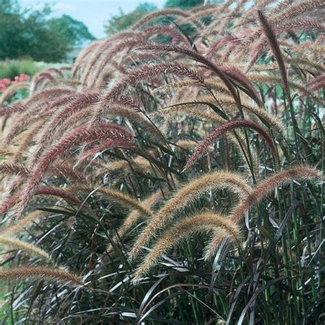 graceful grasses 174 purple fountain grass pennisetum