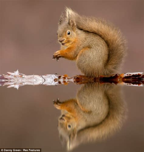seeing double red squirrel 191 s crystal clear reflection is