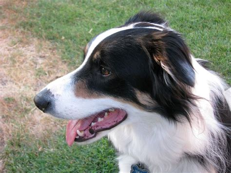 border collie colors border collie colors everything you need to about border