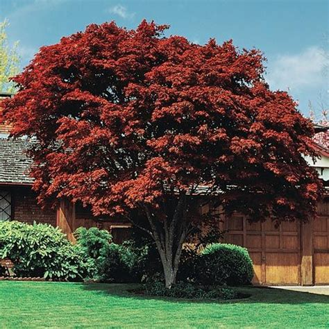 10 best images about trees shrubs for fall on trees hydrangeas and border plants