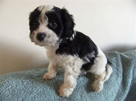 cavapoo puppies for adoption cavapoo dogs for adoption related keywords cavapoo dogs for adoption