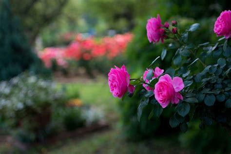 flowers roses pink blurred background park wallpaper