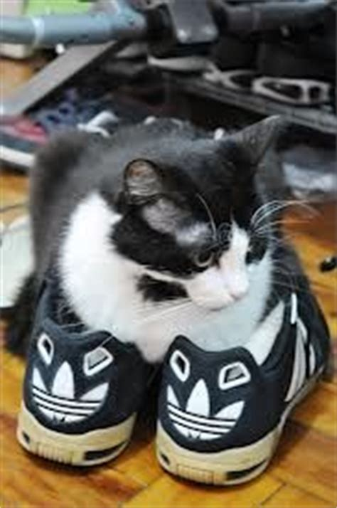 funny cat in shoes cats in shoes on pinterest cat sleeping kitty cats and cat