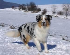 c j australian shepherds en savoir plus sur le berger australien forum chiens