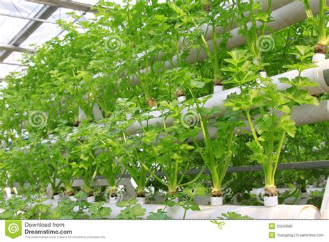 soilless cultivation  green vegetables stock image