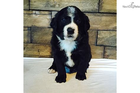 bernedoodle puppies for sale near me bernese mountain puppy for sale near boise idaho ac982bc8 91b1