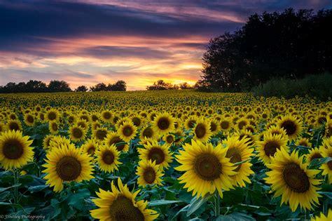 grinter sunflower farm  lawrence ks sunflower fields