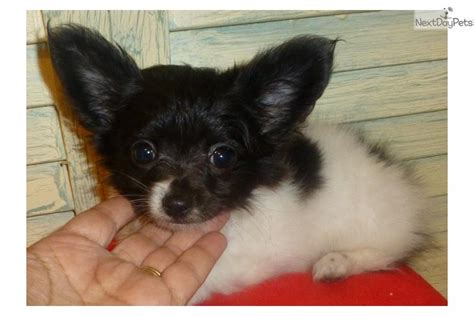 chion puppies for sale black white chion papillon puppy for sale near houston 779a2d05 cae1