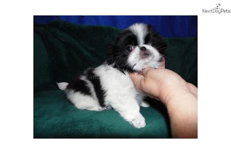 japanese chin puppies for sale near me lester akc japanese chin puppy for sale near fayetteville arkansas c389ffe6 46f1