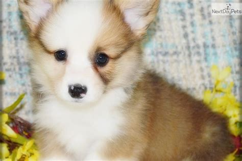 puppies for sale in kansas best 20 corgi puppies for sale ideas on