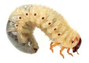 with maggots robo maggots will munch through brain tumors popular science