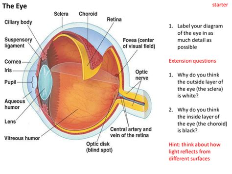basic structures of the eye ppt download structure and functions of the eye by sgreen2 teaching resources tes
