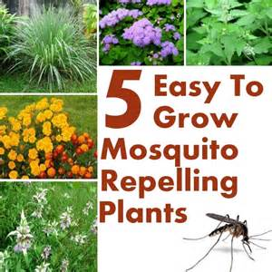 5 easy to grow mosquito repelling plants diy home things