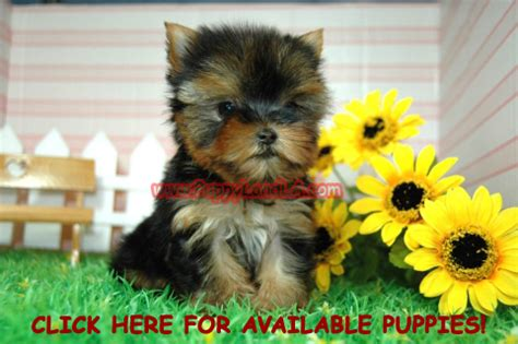 maltese puppies for sale louisiana puppylandla yorkie maltese teacup puppies breeders sale