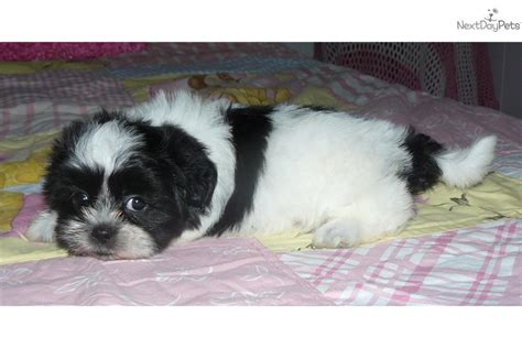 shih tzu breeders in kansas shih tzu puppy for sale near kansas city missouri 491b1e3a 56b1