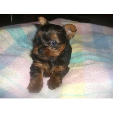 free yorkie puppies in az terrier yorkie breeders in arizona freedoglistings