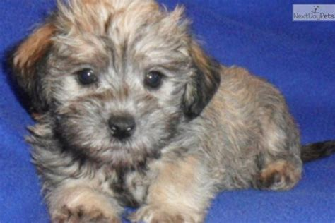 schnoodle puppies for sale in ohio schnoodle puppy for sale near akron canton ohio c52c16ee 5c71