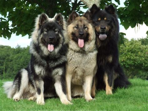 eurasier puppies breed eurasier breed pictures