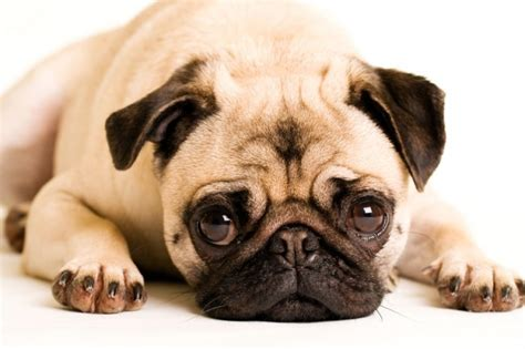 why do pugs shed so much why this sad mistake could lead to a lifetime of health issues for your