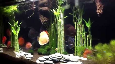 bamboo aquascape wong aquascapes discus lucky bamboo forrest youtube