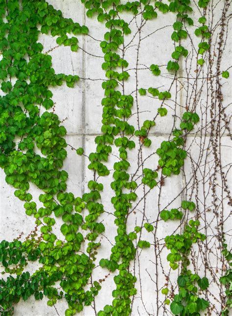 wallpaper daun merambat gambar pohon alam abstrak menanam merambat tekstur