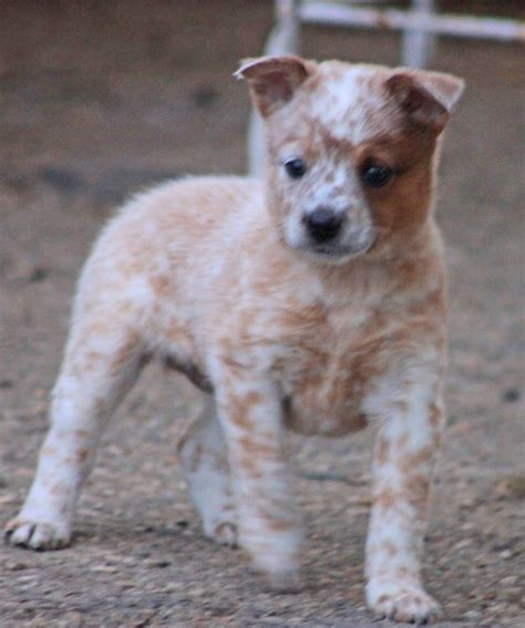 heeler puppies for sale queensland heelers for sale in california design breeds picture