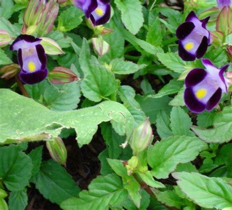 Benih Biji Bunga Torenia Blue Wishbone benih wishbone flower torenia fournieri 10 biji non retail bibitbunga