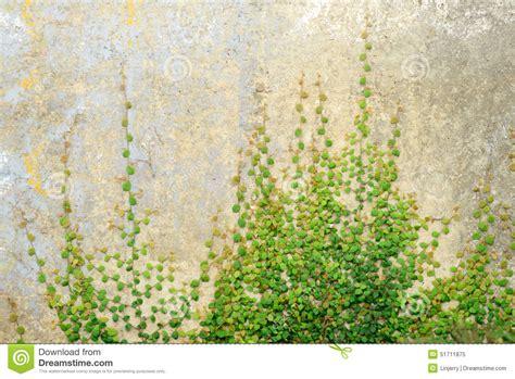 vine wallpaper for walls ivy vine wallpaper 52dazhew gallery