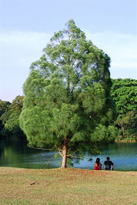 images of trees panoramio photo of one of the casuarina tree
