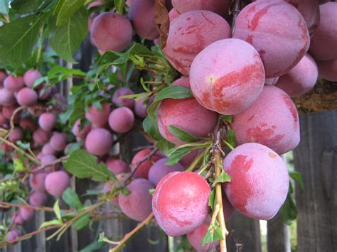 japanese plum tree fruit edible garden a plum deal per