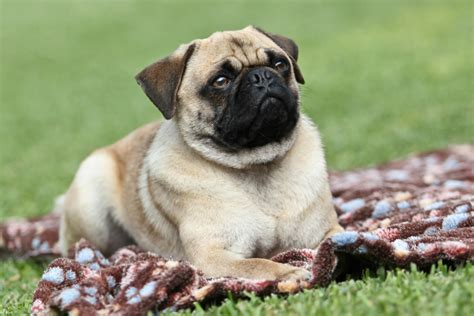 small breeds that look like pugs breed dogs spinningpetsyarn top 10 small breed dogs page 3