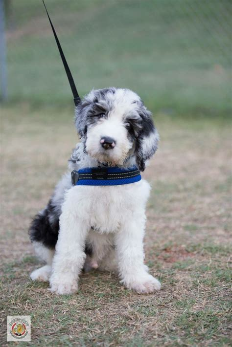 great danoodle puppies 17 best images about the great danoodle woodford the
