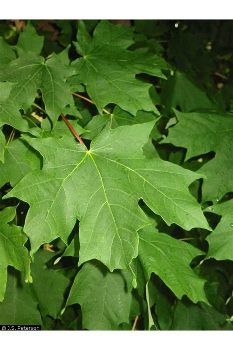 maple tree usda large image for acer saccharum sugar maple usda plants