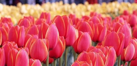 tulips or roses for valentines valentines roses may make swoon but tulips can for