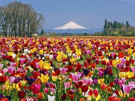 Mawar Laundry By Lautan Biru menakjubkan ladang ladang bunga terindah di dunia ini
